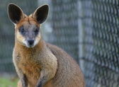 Small Australian Wallaby — 图库照片