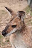 Small Australian Wallaby — Photo