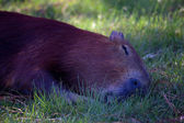 Capybara sleeping — Stock Photo