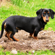 Dachshund — Stock Photo #10898770