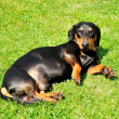 Dachshund — Stock Photo #11581344