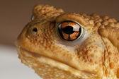 Big Frog — Stock Photo