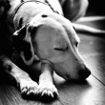 Sleeping dog dalmatian — Stock Photo