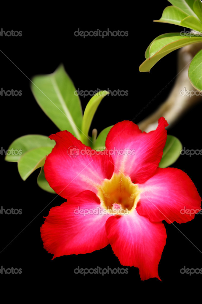 Desert rose flower closeup, isolated on black background — Stock Photo #11133512