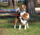 Two beagle dogs playing outdoors — Stock Photo