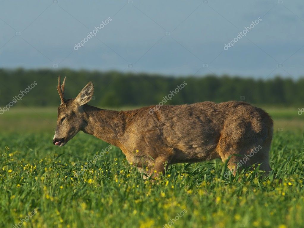 Deer roe — Stock Photo #11008330