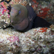 Giant moray eel (Gymnothorax javanicus) — Stock Photo