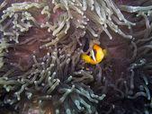 Clark's anemonefish (amphiprion clarkii) — Stockfoto