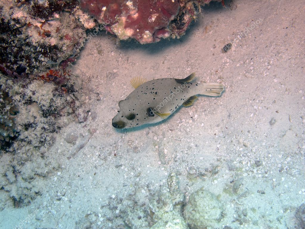 Black-spotted pufferfish seeking food at bottom of ocean floor — Stock Photo #11447577