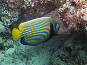 Imperial Angelfish (Pomacanthus imperator) — Stockfoto