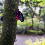 ������, ������: Postman Butterfly
