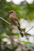 Female red cardinal — Foto Stock
