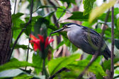 Striated Mangrove Heron — Stock Photo