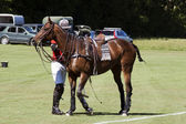Polo pony — Stock Photo