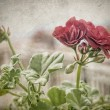 The geraniums — Stock Photo