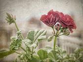 The geraniums — Stock Photo