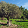 Royalty-Free Stock Photo: Old Olive Tree