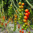 Orchard Growing Tree Tomatoes — Stock Photo