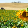 Sunflower Field — Stock Photo #10737512