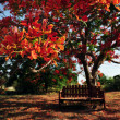Stock Photo: Red Orange Frangipani Temple Tree