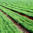 Stock Photo: Green Crops in Field
