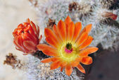 Cactus flowers. — Stock Photo