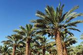Palmiye ağacı Ekim — Stok fotoğraf