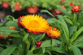 Blooming orange and red flowers — Foto Stock