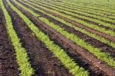 Cultivos en un campo verdes — Foto de Stock