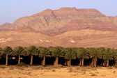 Date Palm Plantation — Foto de Stock