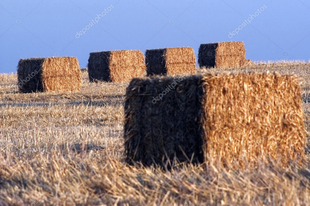Freshly cut bales of hay in a dry wheat field  Stock Photo #10737679