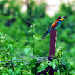 Wildlife Photos - European Bee Eater — Stockfoto