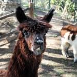 Farm Animals - Lama — Stock Photo