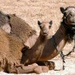 Постер, плакат: WIldlife Photos Arabian Camel