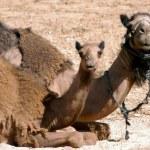 WIldlife Photos - Arabian Camel — Stock Photo #10839536