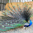 Wildlife Photos - Indian Peacock — Stock Photo #10839538