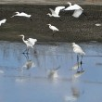 Wildlife Photos - Little Egret — Stock Photo