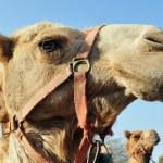 WIldlife Photos - Arabian Camel — Stock Photo #10839996