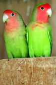 Wildlife Photos - Parrot — Stock Photo