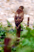 Wildlife Photos - Red-tailed Hawk, — Stock Photo