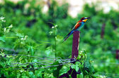Wildlife Photos - European Bee Eater — Stock Photo