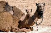 WIldlife Photos - Arabian Camel — Stock Photo