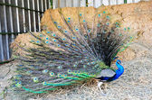 Wildlife Photos - Indian Peacock — Stock Photo