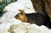 Wildlife Photos - Rock Hyrax — Stock Photo