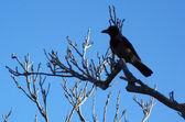 Wildlife Photos - Black Crow — Stock Photo