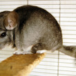 Wildlife Photos - Chinchilla — Stock Photo #10840292