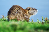 Wildlife Photos - Nutria — Stock Photo