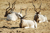 Wildlife Photos - Addax — Stock Photo
