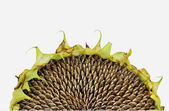 Withered Sunflower — Stock Photo
