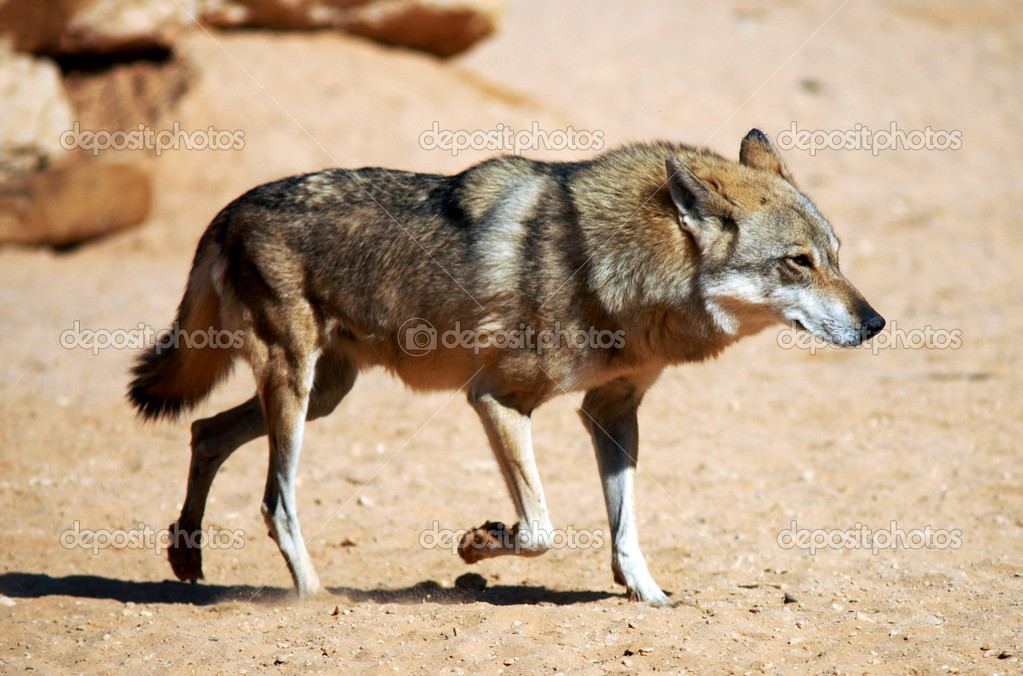Gray wolf in the desert. — Stock Photo #10840297